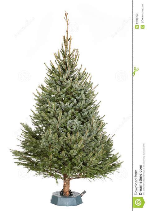 omorika christmas tree stock photo image 60165123