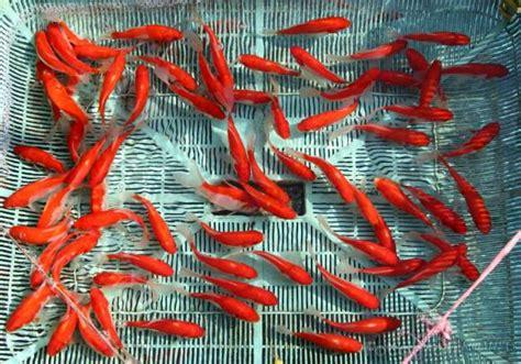 Pakan Ikan Lele Yang Baru Menetas bisnis budidaya ikan bibit ikan lele
