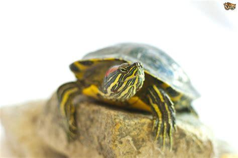Species of Turtle   Pets4Homes