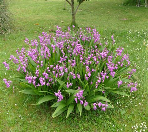 orchidea da giardino foto orchidee da giardino dall album foto profilo di beybe