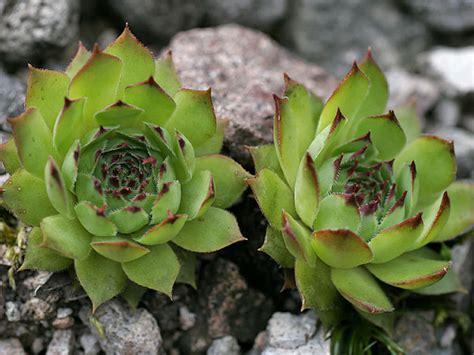 Flower In A Vase Picture Sempervivum Tectorum Common Houseleek World Of Succulents