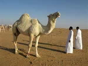 Saudi arabia desert camel free stock photos in jpeg jpg 4000x3000