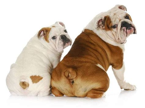 bulldog puppy names bulldog names for american bull dogs puppys and the o jays