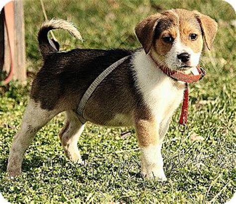 golden retriever puppies harrisonburg va edie adopted puppy dg harrisonburg va golden retriever beagle mix
