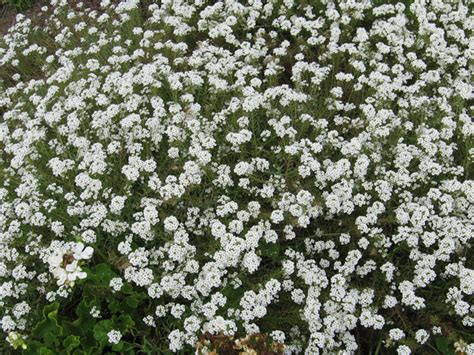 white foliage plants annual flower trials at bluegrass horticulture