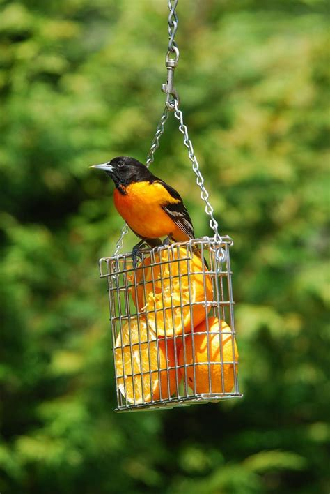 birdsunlimited what s the best way to attract orioles in