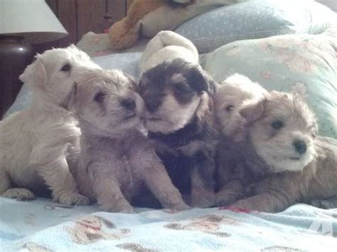 miniature schnauzer puppies for sale in tn miniature schnauzer puppies for sale in jonesboro tennessee classified