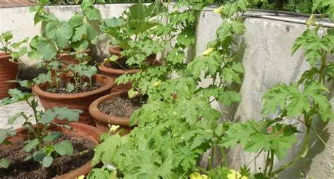 orto su terrazzo orto sul balcone cosa piantare orto in terrazzo che