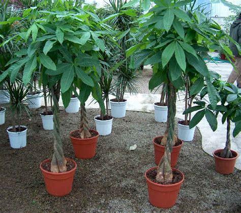 piante acquatiche da appartamento ベランダガーデニング札幌 ベランダをもうひとつのリビングに パキラ pachira