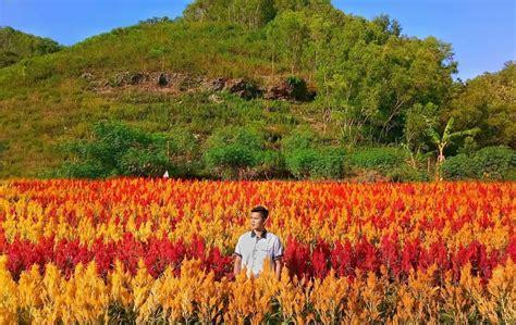cantiknya kebun bunga celosia gunung kidul wisatakaka