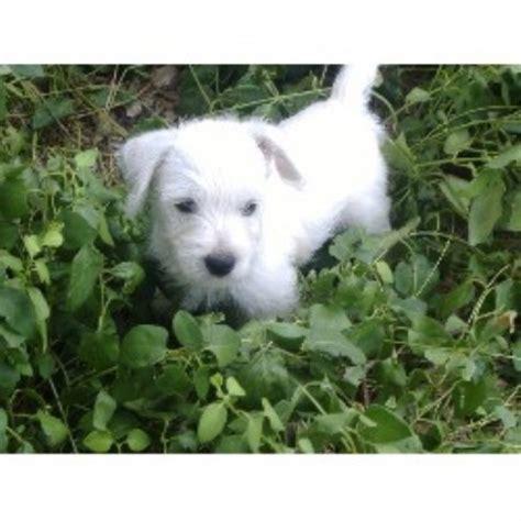 westie puppies for sale nc westie breeders in nc