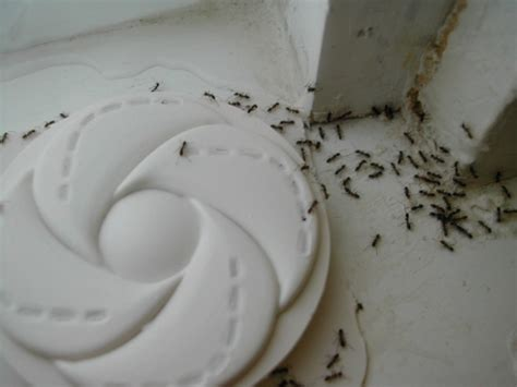 how to deal with small black ants in house