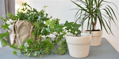 english ivy helps reduce mold   home