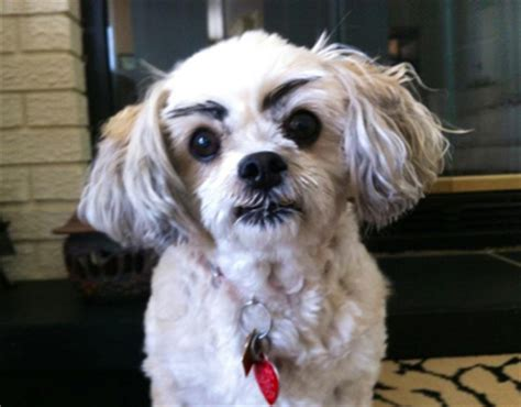 do dogs eyebrows 20 hilarious dogs with eyebrows dose of