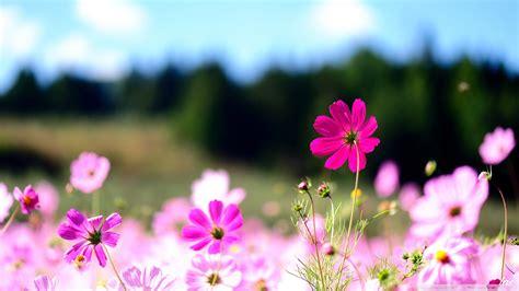 wallpaper flower com cosmos flowers wallpaper 2048x1152 78178