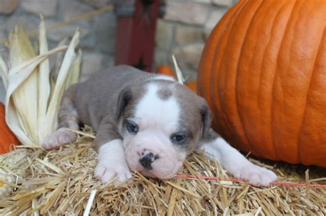 olde bulldogge puppies for sale in pa 27 best images about olde bulldogges for sale on and