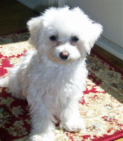 pictures of maltipoo puppies lola the maltipoo dogs daily puppy