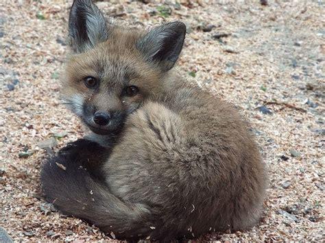 fox puppy fox puppy by sheltiewolf on deviantart
