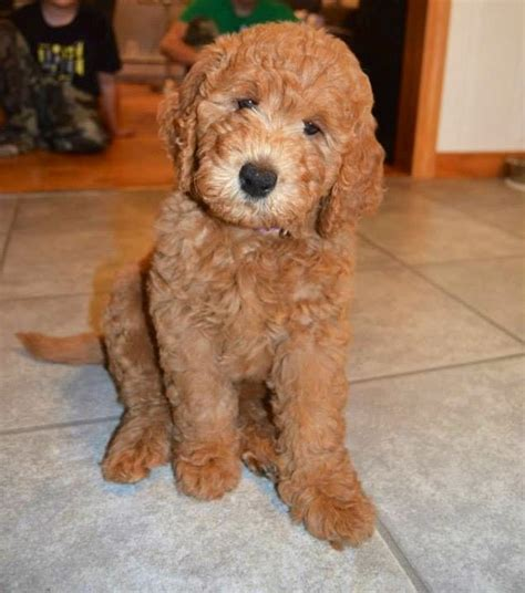 mini goldendoodle how big do they get the 25 best ideas about f1b goldendoodle on
