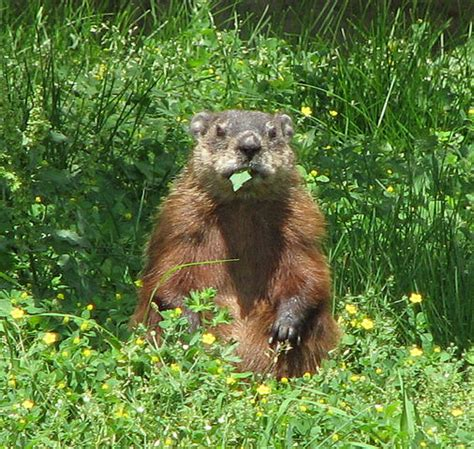 groundhog day wiki file groundhog jpg wikimedia commons
