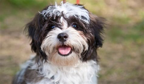 when does a shih tzu puppy become a 12 realities new shih tzu owners must learn to accept