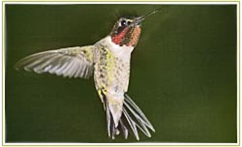 mating habits of hummingbirds ruby throated hummingbird