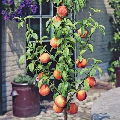 container gardening fruit trees container fruit tree gardening growing fruit crops in pots