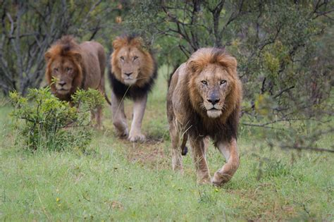 Three Lions a s roar let s discuss londolozi