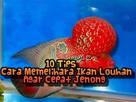 Pakan Ikan Louhan Untuk Jenong 10 tips cara memelihara ikan louhan agar cepat jenong