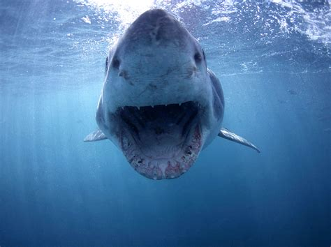 the shark in the shark cage diving viewing full day tour jenman african safaris