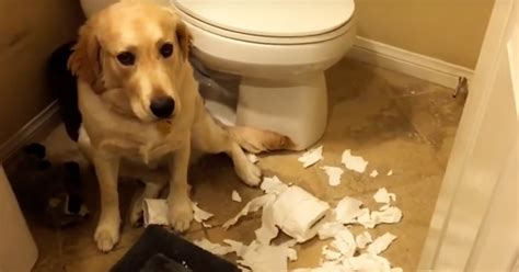 guilty golden retriever all of these guilty dogs are guilty but how the golden retriever owns it i