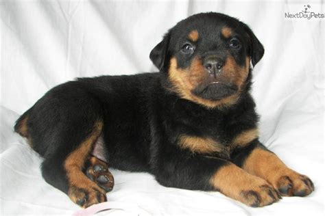 rottweiler for sale michigan rottweiler puppy for sale near grand rapids michigan 4a47036c bbc1