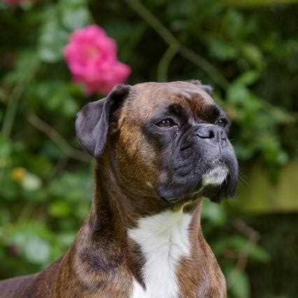 boxer lifespan expectancy of boxer dogs