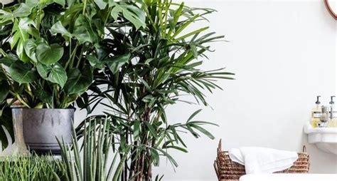 kentia pianta da appartamento kentia piante da interno kentia pianta da appartamento