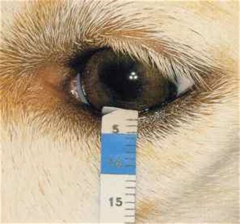 kcs in dogs kerato conjunctivitis sicca darwin veterinary centre biggin hill