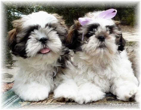 shih tzu ga shih tzu puppies white and gold www pixshark images galleries with a bite