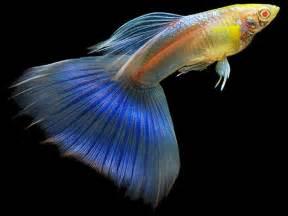 sky blue albino  fish more freshwater aquarium fish albino