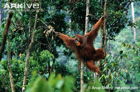 monkeys swinging in a tree sumatran orangutan photo pongo abelii g4032 arkive