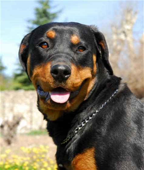 world s rottweiler becarefull world s deadliest rottweiler xcitefun net