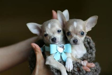 teacup yorkie puppies for sale in bakersfield ca puppies for sale in los angeles california