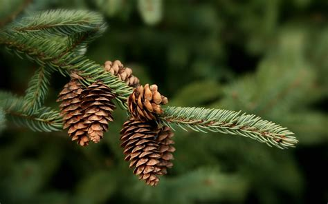 Pinecone Index Of Blog Wp Content Gallery Widescreen Wallpaper