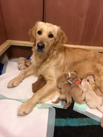 golden retriever puppies swansea beautiful golden retriever puppies kc registered swansea swansea pets4homes