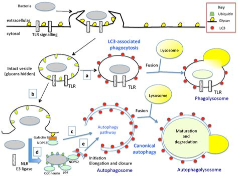 pattern recognition receptors and autophagy toxins free full text interactions between autophagy