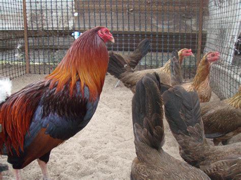 gallos de dink fair kelso expertos en crianza de gallos de pelea y trios puros