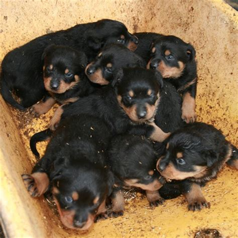 how to my rottweiler puppy rottweiler puppy www pixshark images galleries with a bite