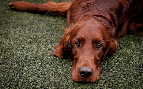 irish setter dog wallpaper irish setter wallpapers archives hdwallsource com