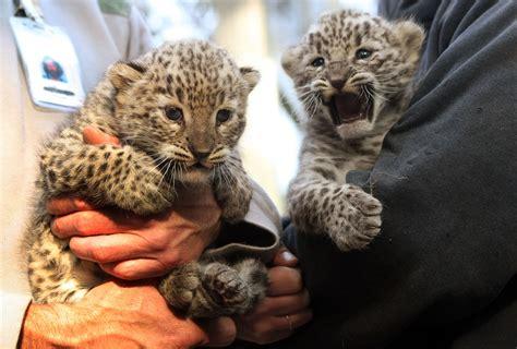 leopards  borders protecting biodiversity   caucasus
