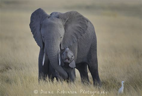mom and baby elephant amboseli kenya mom and baby