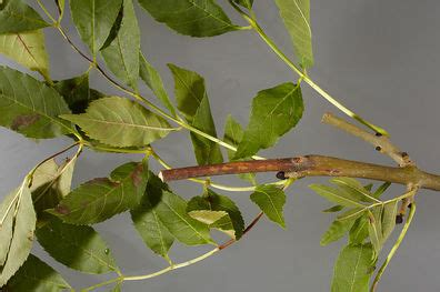 cluster exeter 9 tree common ash exeter trees shrubs