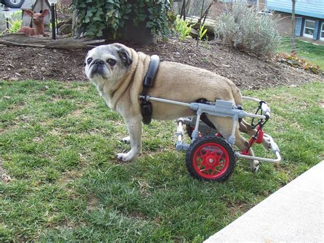 pug in a wheelchair pug in wheelchair from k 9 cart company east in oxford md 21654